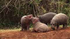Hippopotamus, hippopotamus amphibius, Youngs playing, Masai Mara Park in Kenya Stock Footage