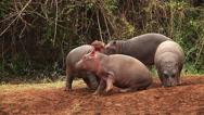 Hippopotamus, hippopotamus amphibius, Youngs playing, Masai Mara Park in Kenya Stock Footage