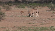 Beisa Oryx, oryx beisa, Group with Adults and Calf walking through Savanna, Stock Footage