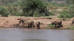 African Elephant, loxodonta africana, Group drinking at River, Samburu Park  Stock Footage