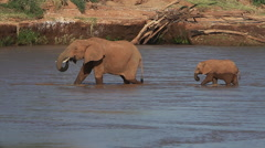 African Elephant, loxodonta africana, Adult and Calf crossing River, Samburu Stock Footage