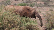African Elephant, loxodonta africana, Young walking through Savanna, Masai Mara Stock Footage
