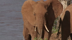 African Elephant, loxodonta africana, Adult coming from River, Samburu Park  Stock Footage