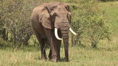 African Elephant, loxodonta africana, Adult walking through Savanna, Masai Mara Stock Footage
