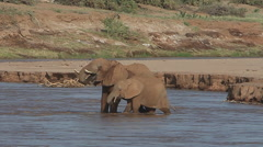 African Elephant, loxodonta africana, Adult and Calf crossing River, Spraying Stock Footage