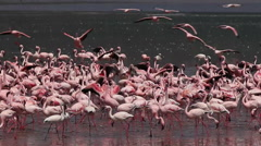 Lesser Flamingo, phoenicopterus minor, Group having Bath, Some in Flight, Colony Stock Footage