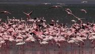 Lesser Flamingo, phoenicopterus minor, Group having Bath, Some in Flight, Colony Stock Footage