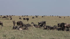 Blue Wildebeest, connochaetes taurinus, Herd laying down through Savanna during Stock Footage