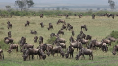 Blue Wildebeest, connochaetes taurinus, Herd walking through Savanna during Stock Footage