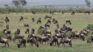 Blue Wildebeest, connochaetes taurinus, Herd walking through Savanna during Stock Footage