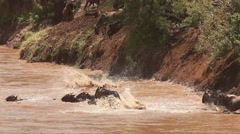 Blue Wildebeest, connochaetes taurinus, Herd Crossing Mara River  Stock Footage