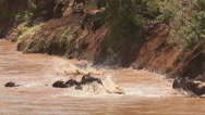 Blue Wildebeest, connochaetes taurinus, Herd Crossing Mara River  Stock Footage