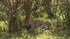 Leopard, panthera pardus, Adult laying on Grass, Grooming itself, Masai Mara Arkistovideo
