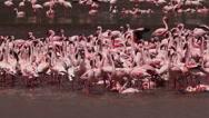 Lesser Flamingo, phoenicopterus minor, Group having Bath, Colony at Bogoria Lake Stock Footage