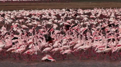 Lesser Flamingo, phoenicopterus minor, Group having Bath, Colony at Bogoria Lake Stock Footage