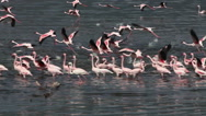Lesser Flamingo, phoenicopterus minor, Group moving in Water, Some in Flight Stock Footage