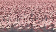 Lesser Flamingo, phoenicopterus minor, Group moving in Water, Colony at Bogoria Stock Footage