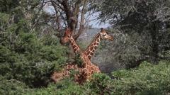 Reticulated Giraffe, giraffa camelopardalis reticulata, Adults fighting in Bush, Stock Footage