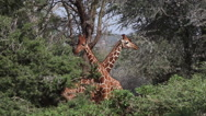 Reticulated Giraffe, giraffa camelopardalis reticulata, Adults fighting in Bush, Stock Footage