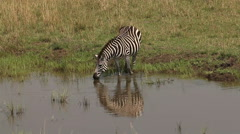 Burchell's Zebra, equus burchelli, Adult entering Water, Masai Mara Park  Stock Footage