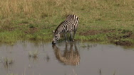 Burchell's Zebra, equus burchelli, Adult entering Water, Masai Mara Park  Stock Footage
