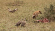 Spotted Hyena, crocuta crocuta, and African White Backed Vulture, gyps Stock Footage