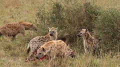 Spotted Hyena, crocuta crocuta, Group on a Kill, Eating a Wildebeest, Masai Mara Stock Footage