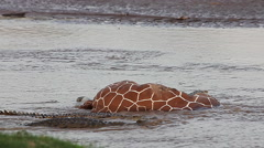 Nile Crocodile, crocodylus niloticus, Adults on a Kill, a Reticulatd Giraffe Arkistovideo