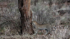 Leopard, panthera pardus, Adult walking in Bush, Masai Mara Park in Kenya Arkistovideo