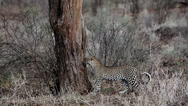 Leopard, panthera pardus, Adult walking in Bush, Masai Mara Park in Kenya Stock Footage