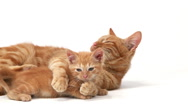 Red Tabby Domestic Cat, Female with Kitten against White Background, Slow motion Stock Footage
