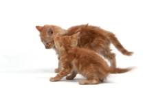 Red Tabby Domestic Cat, Kittens playing against White Background, Slow motion Stock Footage