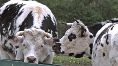 Normandy Cattle, Cows eating Grass, Normandy, Real Time Stock Footage