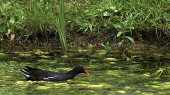 Common Moorhen or European Moorhen, gallinula chloropus, Adult swimming, Pond in Stock Footage