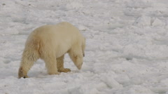 Polar bear walks over chunky sea ice on sunny day Stock Footage