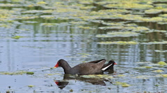 Common Moorhen or European Moorhen, gallinula chloropus, Adult with Chick Stock Footage