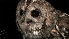 Eurasian Tawny Owl, strix aluco, Portrait of Adult, Normandy, Real Time Stock Footage