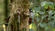 Great Spotted Woodpecker, dendrocopos major, Adult Looking for Food in Bark Stock Footage