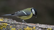 Great Tit, parus major, Adult with Seed in its Beak, Taking off from Branch Stock Footage