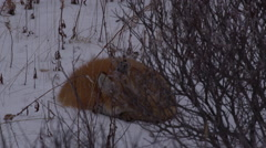 Close on red fox curled up in snow in willows at dusk Stock Footage