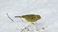 Yellowhammer, emberiza citrinella, Female eating Seeds in Snow, Normandy Stock Footage