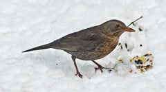 Blackbird, turdus merula, Female eating Seeds on snow, Normandy, real Time Stock Footage