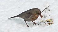 Blackbird, turdus merula, Female eating Seeds on snow, Normandy, real Time Stock Footage