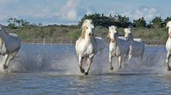Camargue Horse, Herd Galloping Through Swamp, Saintes Marie de la Mer  Stock Footage
