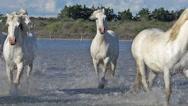 Camargue Horse, Herd Galloping Through Swamp, Saintes Marie de la Mer  Stock Footage