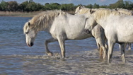 Camargue Horse, Herd standing in Swamp, Saintes Marie de la Mer in The South of Stock Footage