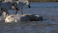 Camargue Horse Rollling in Swamp, Saintes Marie de la Mer in Camargue Stock Footage