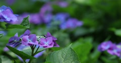 Hydrangea at bamboo forest downtown Tokyo, Japan Stock Footage
