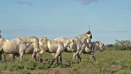 Camargue Horse, Herd with mounted Gardian, Saintes Marie de la Mer in The South Stock Footage