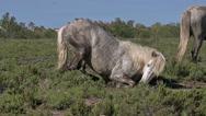 Camargue Horse Rollling on Ground, Saintes Marie de la Mer in Camargue Stock Footage